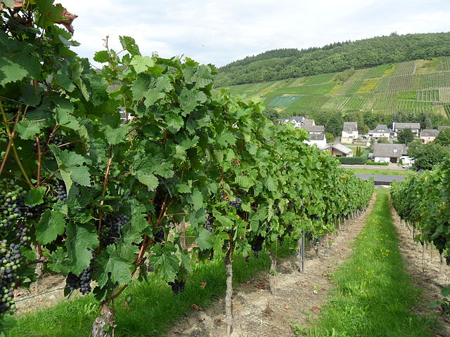 Mosel Riesling grapes