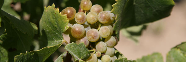 Washington States has more Riesling planted than any other state