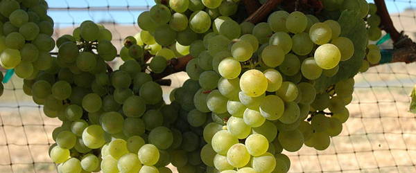 Many vintners also use chardonnay and pinot noir to produce Cava -- two grapes that are also used to make Champagne.