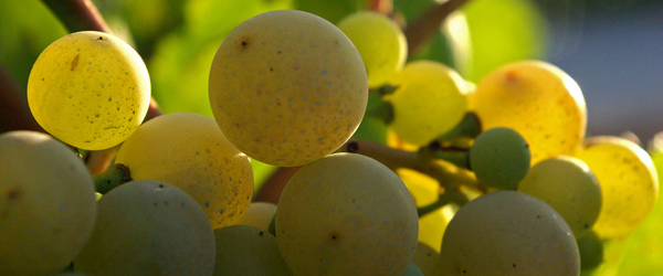 A number of different grapes are allowed to make Cava. However, the three most traditional are xarello, macabeo and parellada.