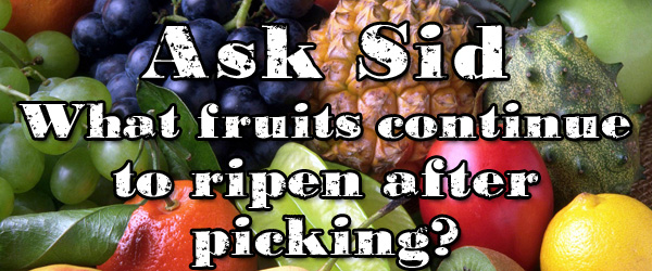 What fruits continue to ripen after picking?