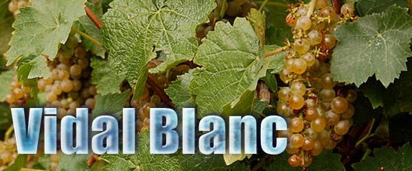 Vidal grapes used to make ice wine