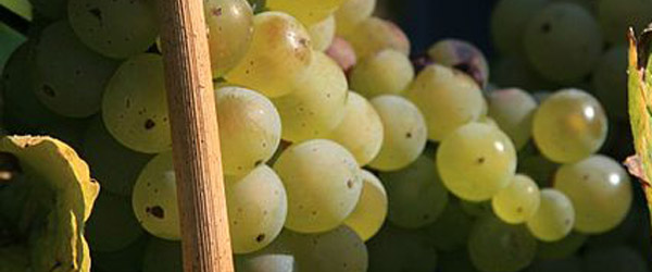 Grapes used to make sekt