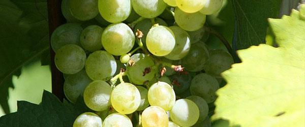 Gruener Veltliner grapes Austrian wine