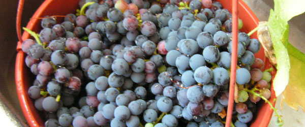 Long Island is known for Merlot wine grapes