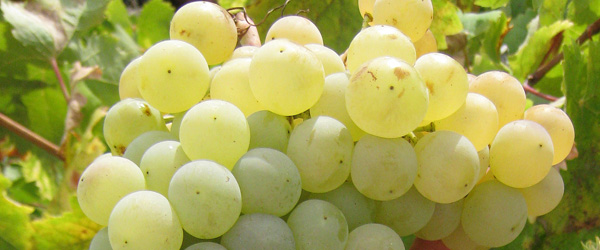Mauzac grapes used to make limoux sparkling wine
