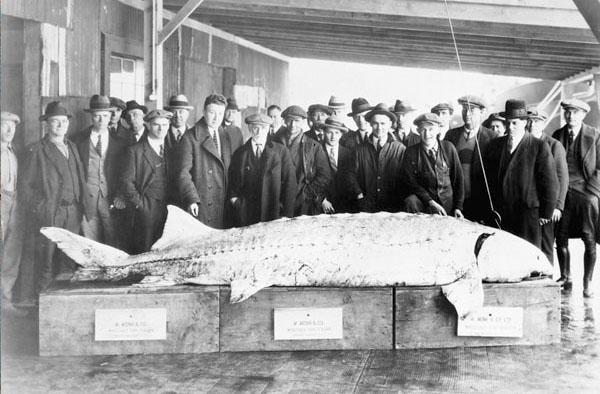 Sturgeon beluga caviar