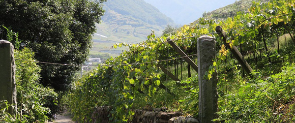 Japanese wine growing techniques