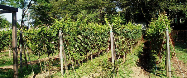 Japanese vineyards