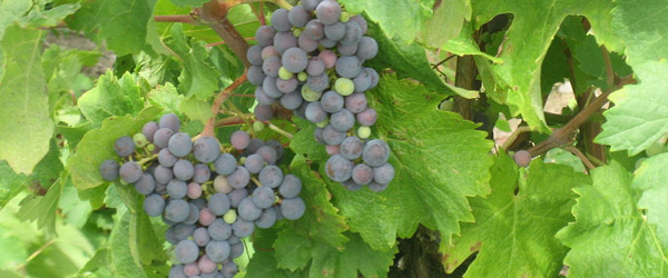 Chile's signature wine grape
