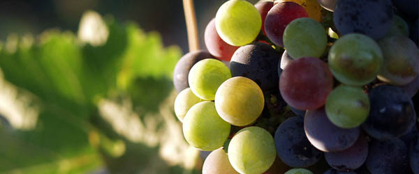 Mexico wine grapes varietals