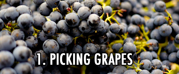 Emile Peynaud grape picking