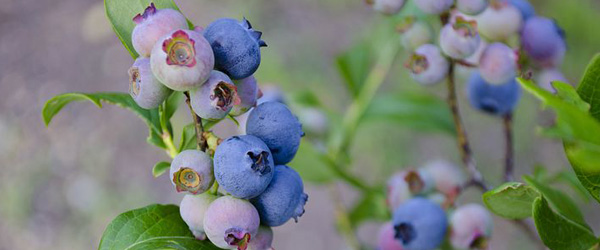 Blueberry port