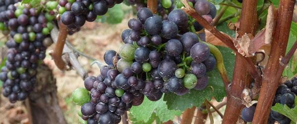 pinot noir from oregon wine