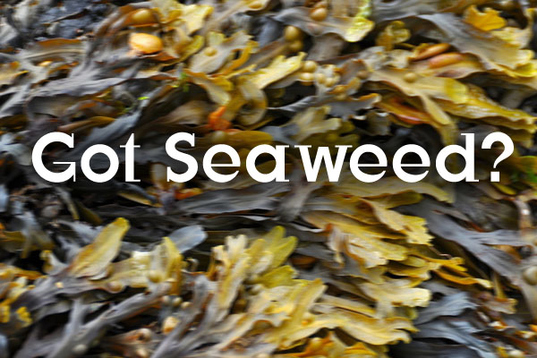 seaweed algae health benefits nutrients vitamins thyroid iodine