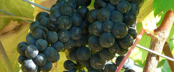 wine grape varieties varietals hybrid vitis vinifera