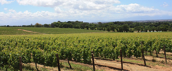 popular wine grapes in South Africa